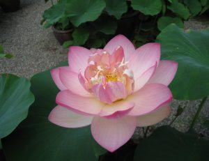 蓮の花が次々と咲いて来ております。
