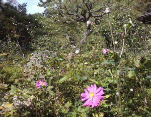 秋明菊 咲き始めました