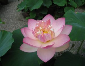 蓮の花が開花しております。