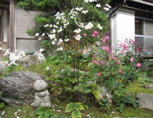 秋明菊が咲き始めました。