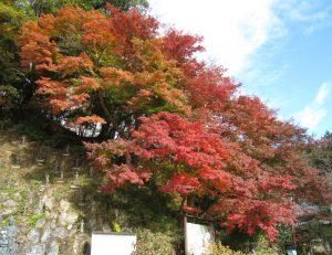 昨夜の風で紅葉の絨毯が出来上がりました。