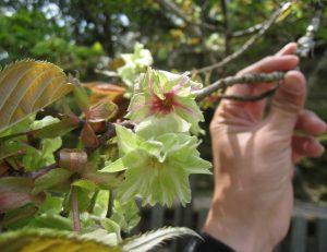 御衣黄桜や八重桜の開花状況 4月14日