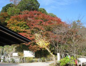 山内の紅葉が見頃を迎えております。