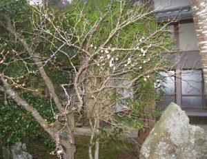 梅の花が開花致しました。