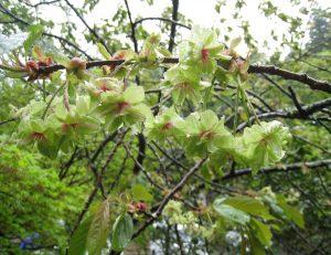 御衣黄桜や境内の花々が満開となって来ております。