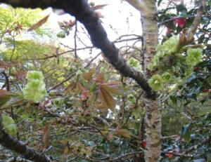 御衣黄桜や季節の花々が咲き始めました。