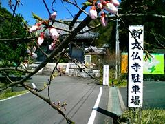 3月 山門前の桜