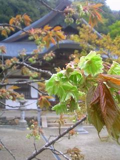 4月 御衣黄桜