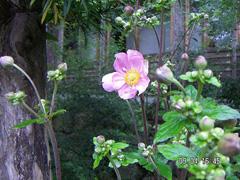 9月 ピンクの秋明菊