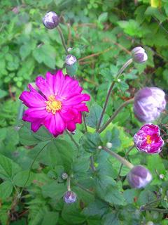 10月 ピンクの秋明菊