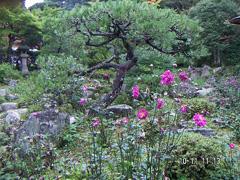 10月 ピンクの秋明菊(八重)