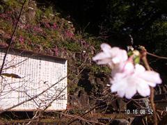 10月 四季桜【十月桜】